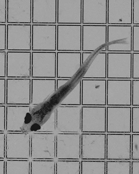 Fish Larvae